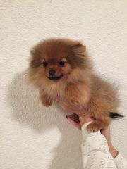 Reinrassige Pomeranian