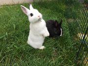 Zwergkaninchen Zwerghasen Kaninchen