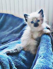 Kleine Ragdoll Kitten Rasselbande suchen