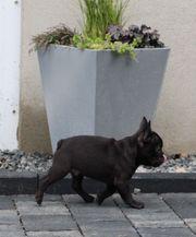 Französische Bulldogge Welpe Rüde Solid
