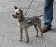 Yorkshire Terrier Rüde Black Tan