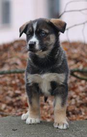 Leonberger Berner Sennenhund - Husky Mischling