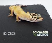 Leopardgeckos Super Hypo