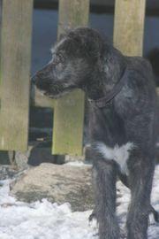 Irish Wolfhoundwelpen Mädchen VDH