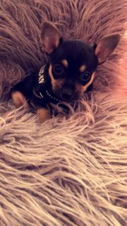 Prager Rattle Mini Chihuahua mix