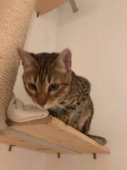 Bengalkatze weiblich 10 Monate