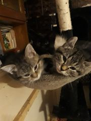 Edelmix Kitten