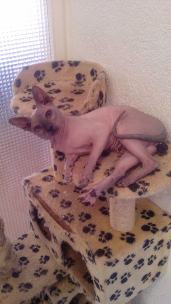 Deckater Sphynx » Katzen