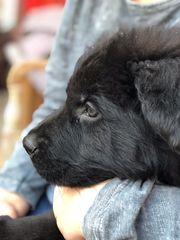 Schwarze Altdeutsche Schäferhunde Welpen