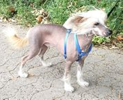 Chinese Crested Dog /