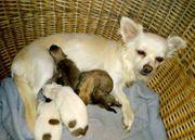3 Chihuahua Welpen*