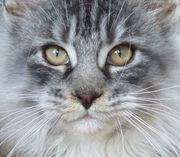 Silbernes Maine Coon
