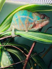Pantherchamäleon Ambilobe Blue
