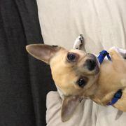liebevoller Chihuahua abzugeben
