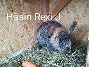 rex kaninchen