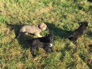 Hunde Welpen