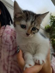 Sibirische Katze Kitten Babykatzen