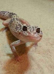 2 Leopardgeckos weiblich