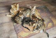 Wunderschöne Bengal Babys