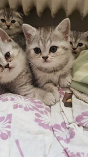 BKH Babykatze Mädchen