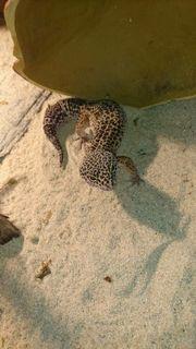Leopard Gekos mit