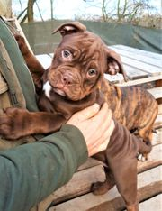 OEB Olde English Bulldog Welpen