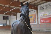 Reitbeteiligung auf Dressurpferd