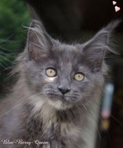 knuffige Maine Coon Babys m