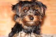 Yorkshire Terrier Weibchen