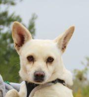 Blanche, Chihuahua Mix,