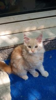 Maine Coon Kitten,