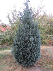 Wacholder-Baum Busch ca 4m hoch -