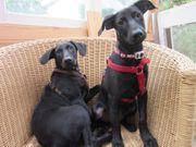 Anfänger-Familienhunde 2 süße Strolche suchen