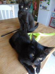 Schwarze Katzenbabys, männlich