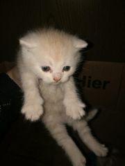 Perser-Mix-Kitten