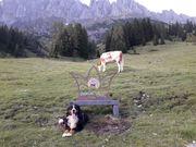 Deckrüde Bernersennenhund