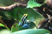 Dendrobates tinctourius Patricia -Zuchtpaar