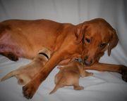 Reinrassige Labradorwelpen zu