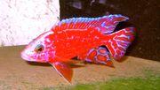 Aulonocara-Firefish-seifert-