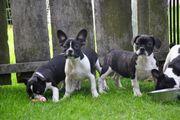 Französische Bulldoggen Mix