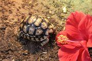 Pantherschildkröten, Stigmochelys pardalis
