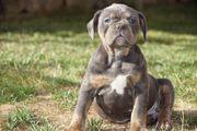Old English Bulldoge Welpen mit