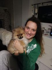 Pomeranian Zwergspitz Typ Boo
