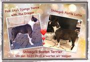 Boston Terrier Welpen mit VDH