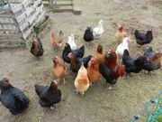 SUCHE Hühner Hennen
