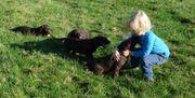 Labrador Welpen schoko
