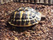 Griechische Landschildkröte - Testudo