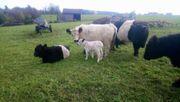 Galloway Absetzer Stier Kuh Kalb