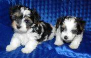 Mini Biewer Yorkshire Terrier Rüden