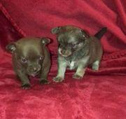 Süße Chihuahua-Welpen